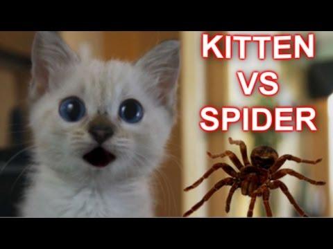 Kitten Vs Spider video