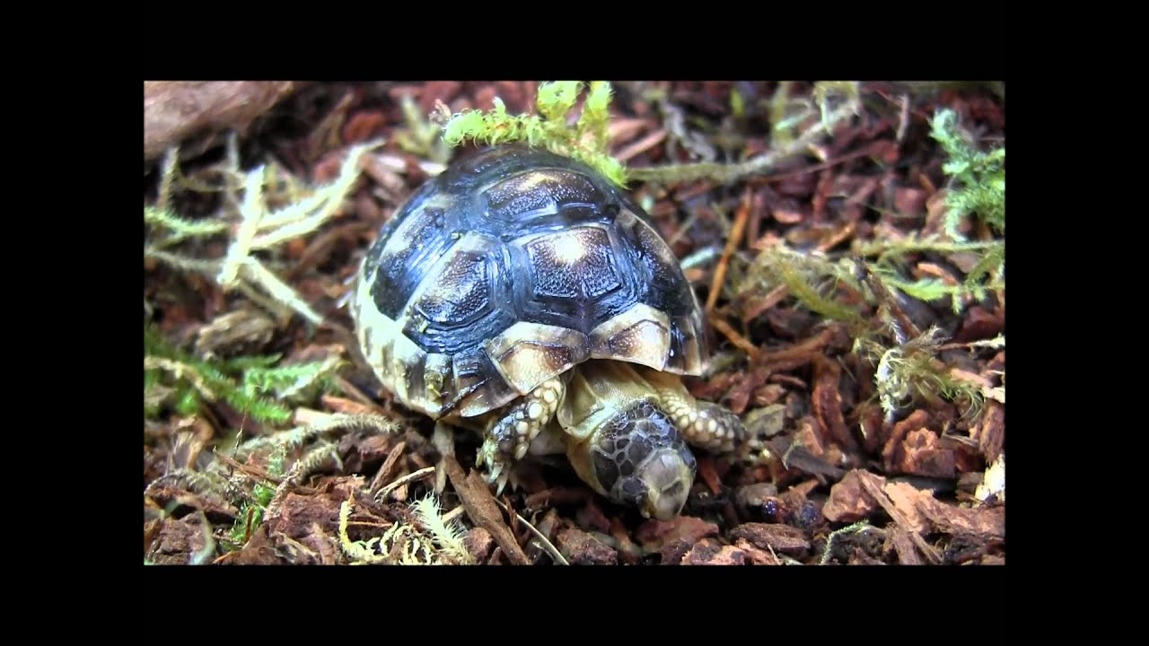 Marginated Baby Tortoises Baby Captive Bred Marginated