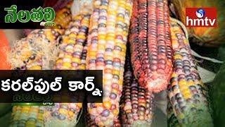 Multi Colored Corn Succesful Farming by Guntur Farmer | Nela Talli | hmtv