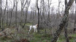 Pointer and Woodcock Hunting İn Bandırma 2014(hd)