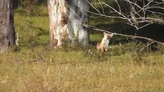 Fox Hunting in Winter 2015 - Sydney, NSW