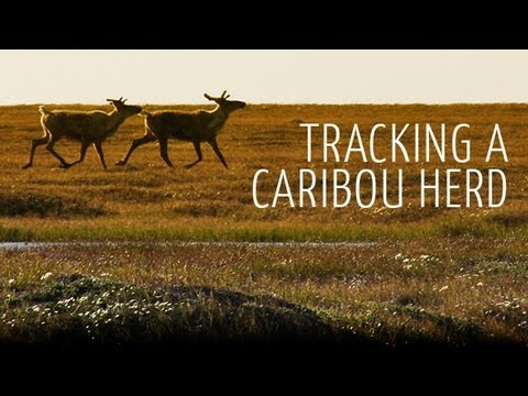 Tracking A Caribou Herd: To The Arctic IMAX 3D