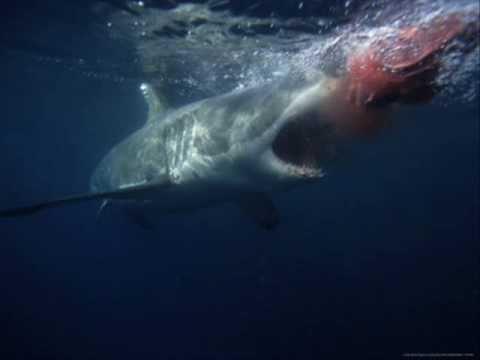 GREAT WHITE SHARK ATTACKS HUMAN! Warning! Disturbing Footage!