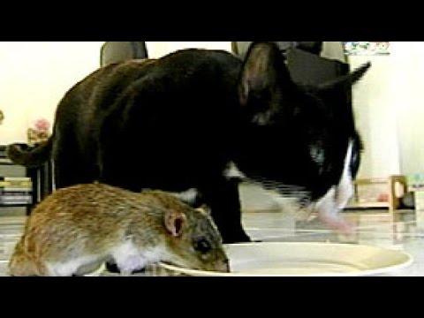Induk Kucing Merawat Bayi Tikus di Thailand