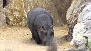 La Réserve des hippopotames : 1ère sortie des animaux !