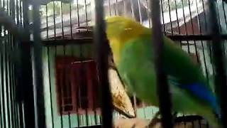 xxHD burung Posisi mantap nyaring suaranya