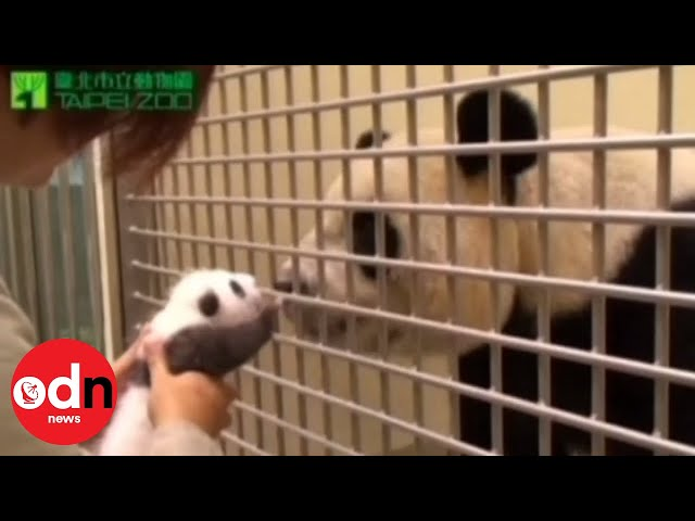 Panda cub meets mother in emotional first encounter since birth