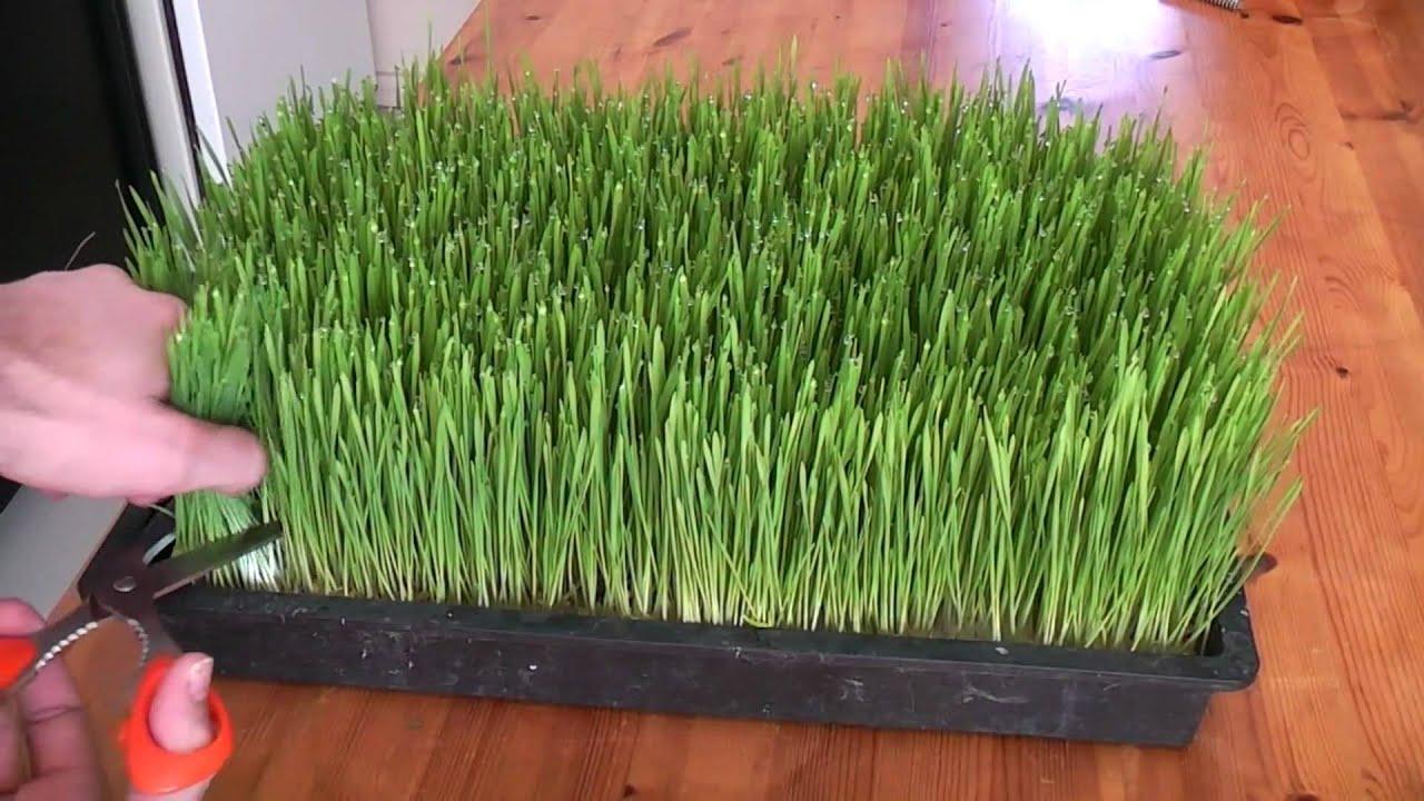 How To Grow Wheatgrass Youtube