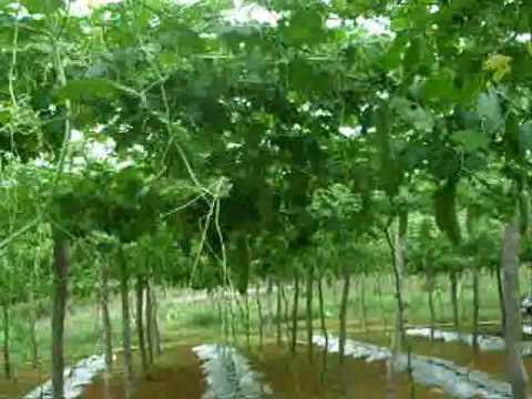 Agroville Tanaman Peria