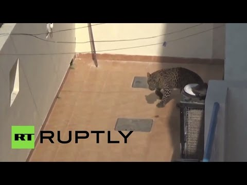 Young leopard got lost in Indian city jungle, terrorizes neighborhood for 6 hours