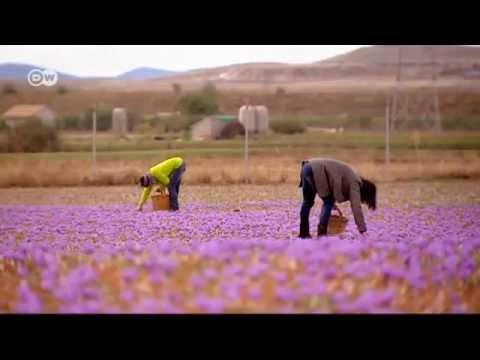 موسم قطاف الزعفران في إسبانبا | يوروماكس