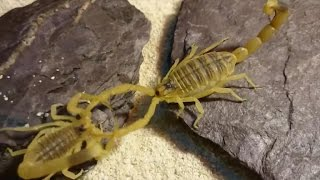 How scorpions help kill cancer
