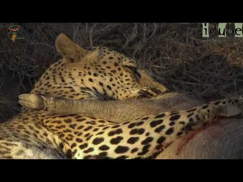 Leopard Vs Warthog: Incredible Battle for Survival!