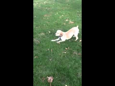 my dog four months after femoral head ostectomy youtube