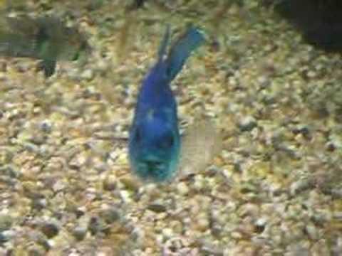 Electric Blue Jack Dempsey 1