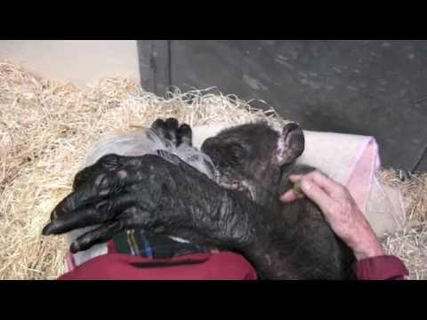 """Jan van Hooff visits chimpanzee """"Mama"""", 59 yrs old and very sick. Emotional meeting"""
