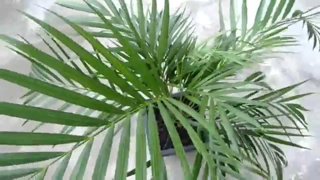Palma areca o palmera bamb youtube for Plantas de interiores