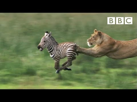 HD: Lioness Hunts Zebra - Nature s Great Events: The Great Migration - BBC One