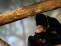 Endangered Baby Langur Debuts at Chicago Zoo