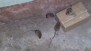 DIY Simple Rat Trap from Cardboard - How to Make a Easy Mouse/ Rat Trap (that works!)