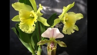 Cycnodes , Cycnoches, Cattleya and Paphiopedilum Blooms