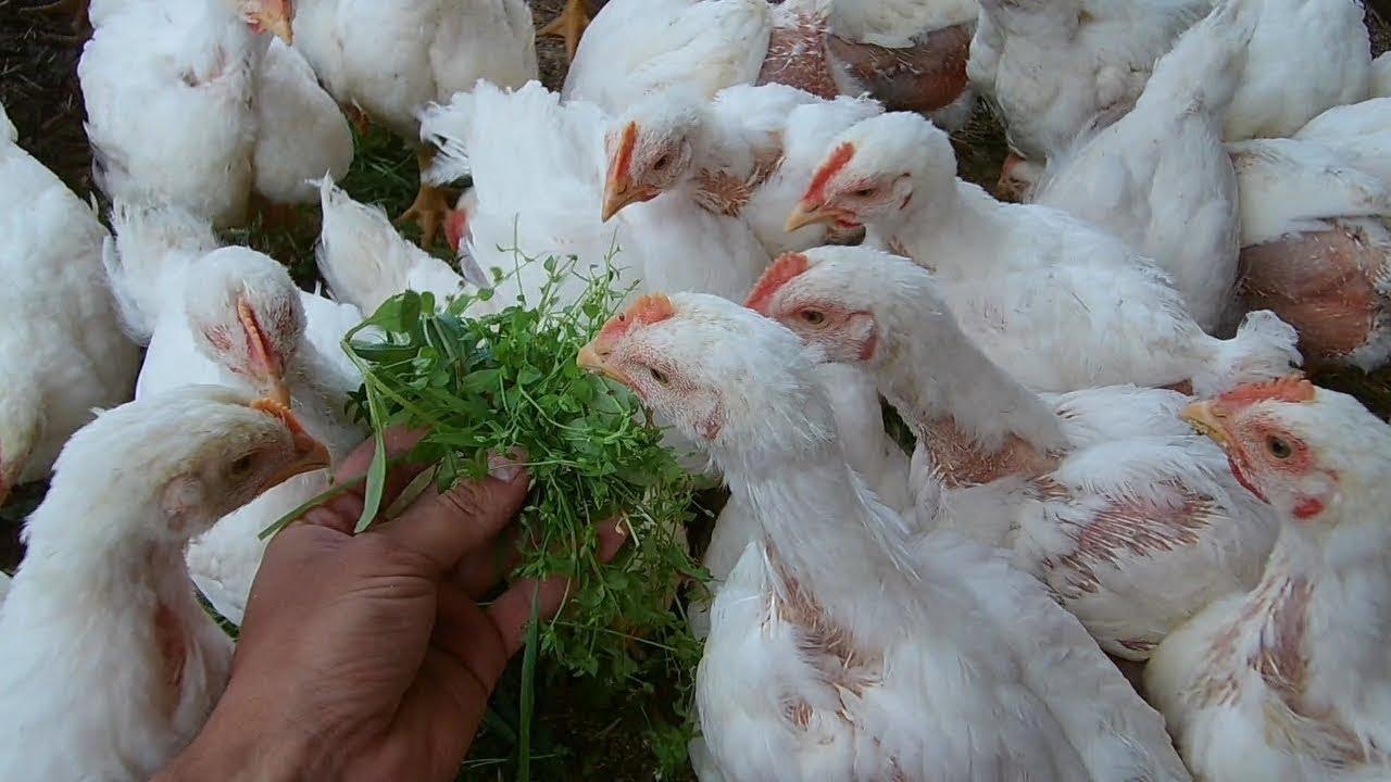 Броллерские цыплята кобб 500 выращивание 26