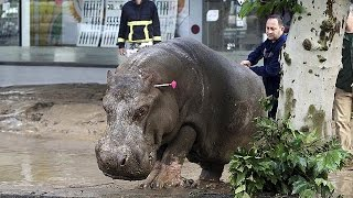 Dangerous animals escape on to the streets of the Georgian capital after floods that killed at…