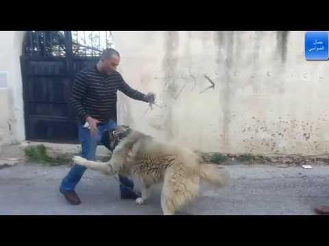 كلب قوقازي شرس وقاتل المجنون لوكو لولا