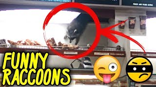 Funny Raccoons | Funny Videos