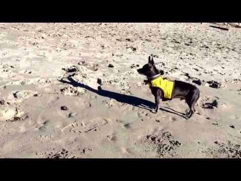 Thor running on Big River Beach in Mendocino CA