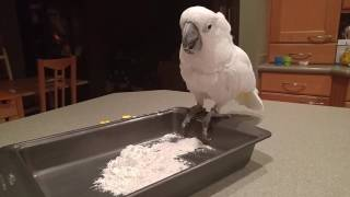 20160301 Mr. Darcy Cockatoo playing in pan of flour