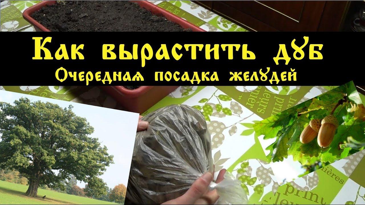 Почва для выращивания дуба 23