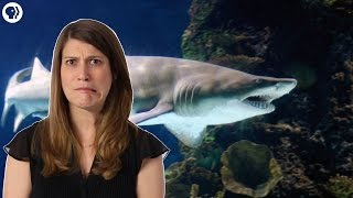 Why Most Sand Tiger Sharks Die in the Womb