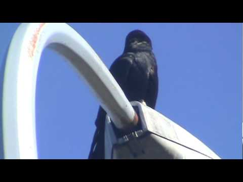 The Majesty of Crows clip 223