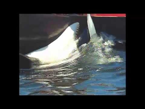 """luna the orca whale Update, oct 15, 2011 """"the whale"""" can now be seen at lynwood theatre on bainbridge island and will be screened next weekend at clyde theatre on whidbey island, the latter a benefit for orca network."""