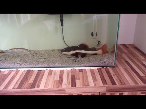 peixes carnivoros comendo