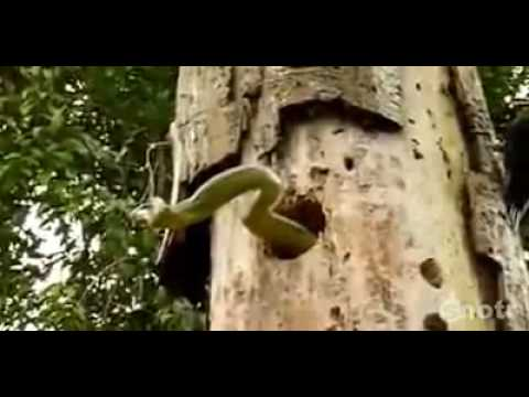 Woodpecker vs Snake