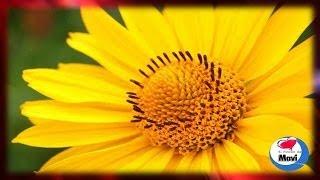 Arnica planta medicinal para tratar los golpes, el dolor y los problemas de la piel