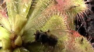 droseras patulata captura mosca plantas carnívoras Colombia