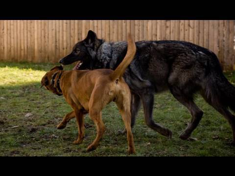 0 Dog Training with Primitive Breeds   www.SelfHelpDogTraining.com (K9 1)