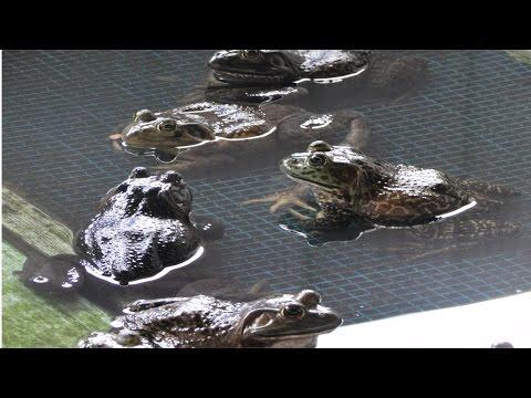 Clique e veja o vídeo Curso Criação de Rãs - Sistema Anfigranja
