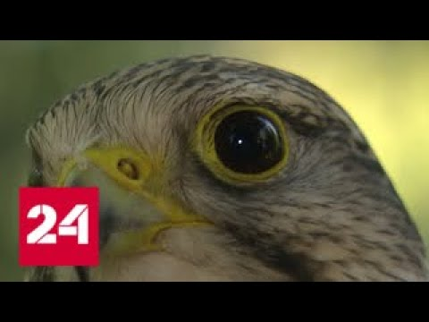 В столице поймали сокола-беглеца по кличке Карат - Россия 24