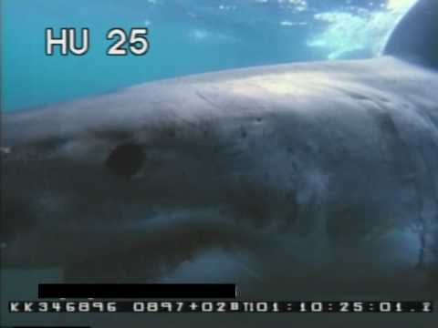 Great White Sharks  - Sharks Up Close - Underwater - Best Shot Footage - Stock Footage