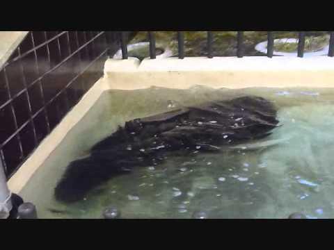 上野動物園コビトカバ_室内で遊ぶモミジ
