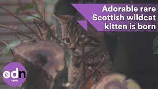 Adorable rare Scottish wildcat kitten is born
