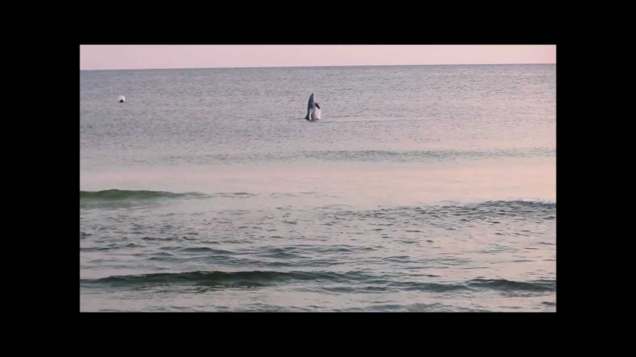 Manta Ray Jumping Jumping Dolphins Manta Rays