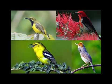Mp3 pikat semua burung(mp3 jaran goyang)