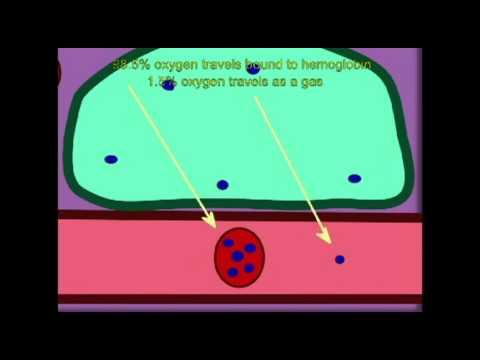 AP2 EXAM 2: OXYGEN, CARBON DIOXIDE TRANSPORT THROUGH THE BLOOD.avi