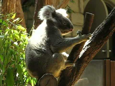 後足で頭を掻くコアラ @東山動物園