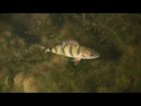 гершоны рыбалка